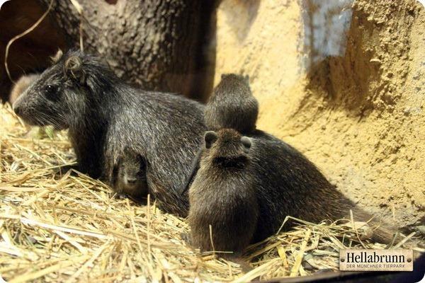 Детеныши кубинской хутии из зоопарка Мюнхена