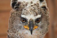 Венценосный орел