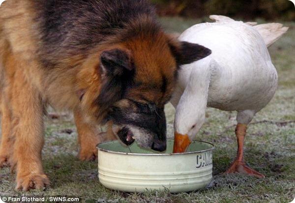 Дружба с гусыней спасает собаке жизнь