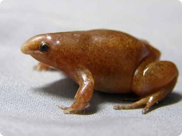 Колумбийский узкорот (лат. Synapturanus mirandaribeiroi)