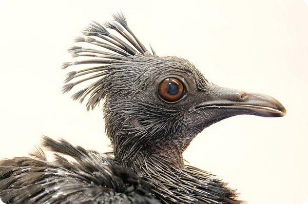 Птенец веероносного венценосного голубя из Майами