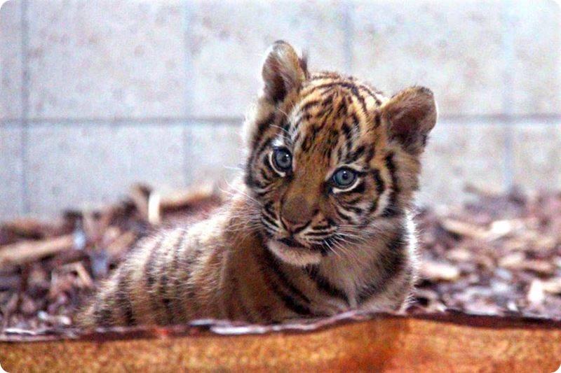 Воссоединение тигренка и его матери