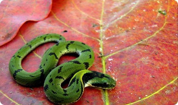 Зеленый килебрюхий уж (лат. Macropisthodon plumbicolor)