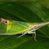 Фонарница Odontoptera carrenoi