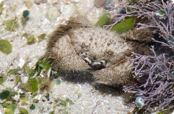 Сумеречный волосатый краб (лат. Pilumnus vespertilio)