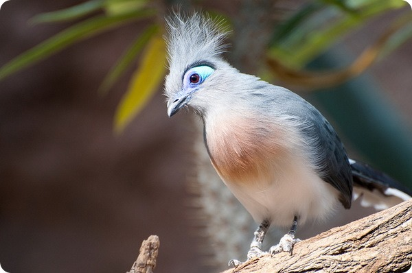 Хохлатая мадагаскарская кукушка (лат. Coua cristata)