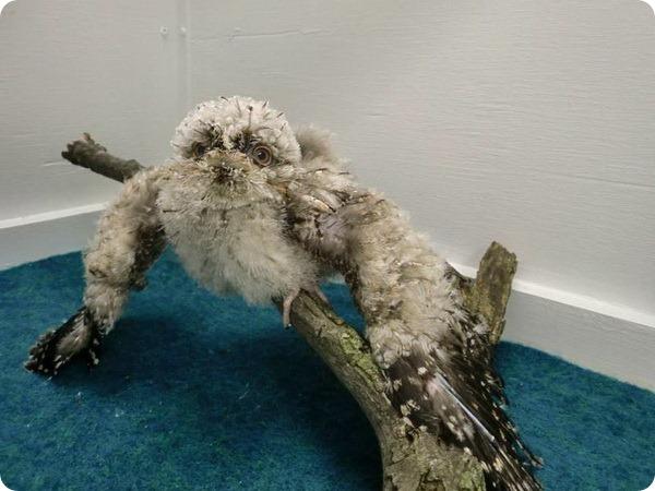 Дымчатый лягушкорот из зоопарка Сент-Луиса