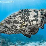 Гуаса, или атлантический гигантский групер