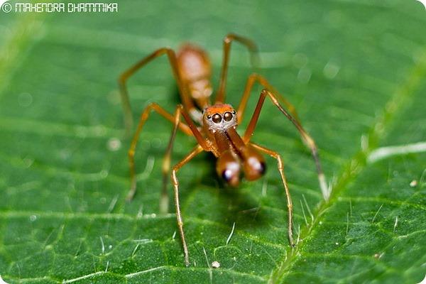 Муравьиный паук-скакун (лат. Myrmarachne plataleoides)