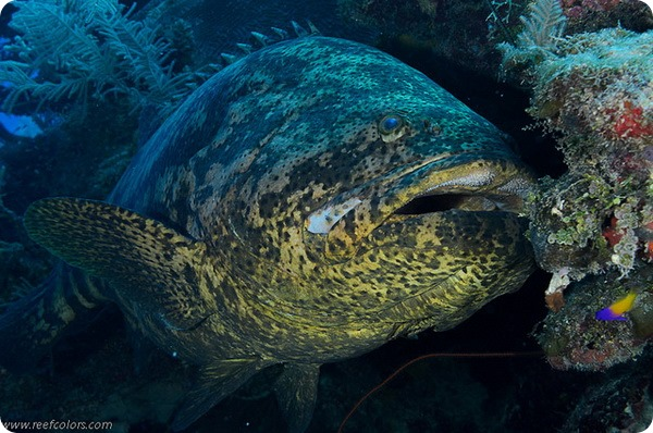 Гуаса, или атлантический гигантский групер (лат. Epinephelus itajara)