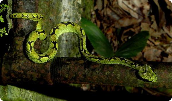 Цейлонская куфия (лат. Trimeresurus trigonocephalus)