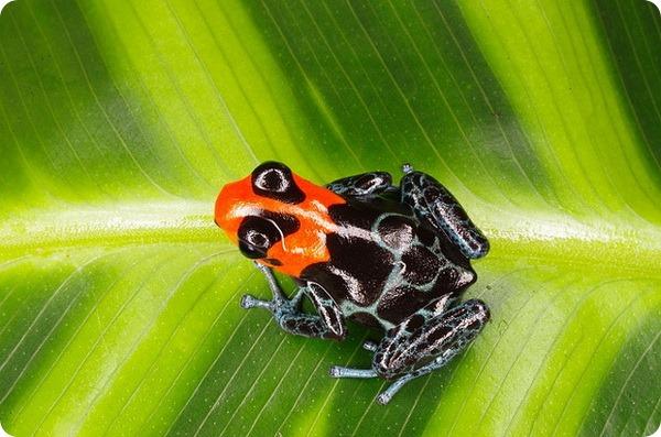 Благословенный карликовый древолаз (лат. Ranitomeya benedicta)