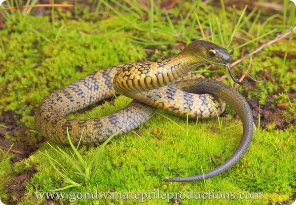 Тигровая змея (лат. Notechis scutatus)
