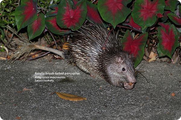 Азиатский кистехвостый дикобраз (лат. Atherurus macrourus)