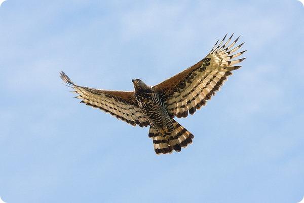 Венценосный орел (лат. Stephanoaetus coronatus)
