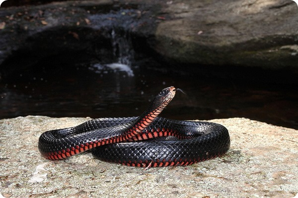 Черная змея (лат.Pseudechis porphyriacus)