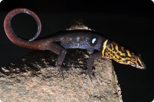 Углопалый геккон (лат. Gonatodes ocellatus)