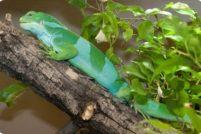 Полосатая фиджийская игуана из зоопарка Денвера