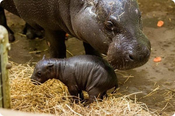 В зоопарке Марвелл родился карликовый бегемот