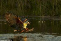 Охота орлана-крикуна в дельте реки Окаванго