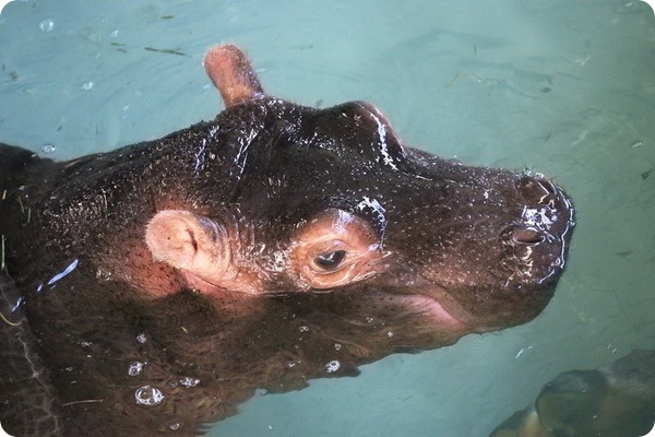 Детеныш гиппопотама из зоопарка Лондона