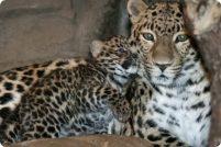 Денверский зоопарк приветствует детеныша леопарда