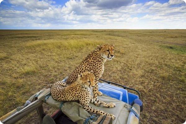 Гепарды от английского фотографа Дэвида Ньютона
