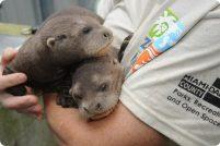 В зоопарке Майами родились детеныши гигантской выдры