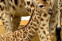 Маленький жирафенок из зоопарка Пейтона