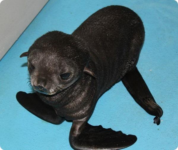 Морской котик-сирота из Аквариума Новой Англии
