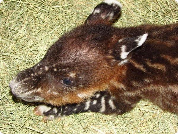 В зоопарке Аризоны выкармливают маленького тапира