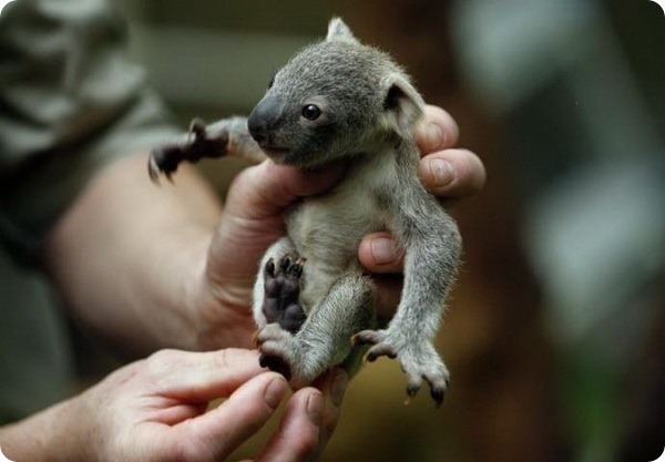 Детеныш коалы из зоопарка Дуйсбурга