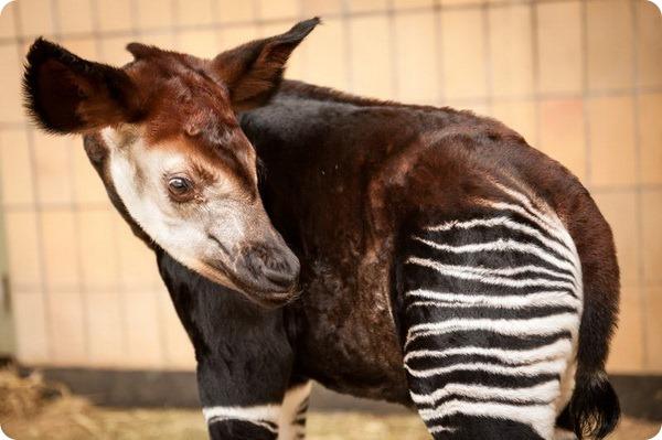 В зоопарке Антверпена родился детеныш окапи