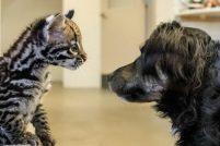 Детеныш оцелота и его друг из зоопарка Цинциннати