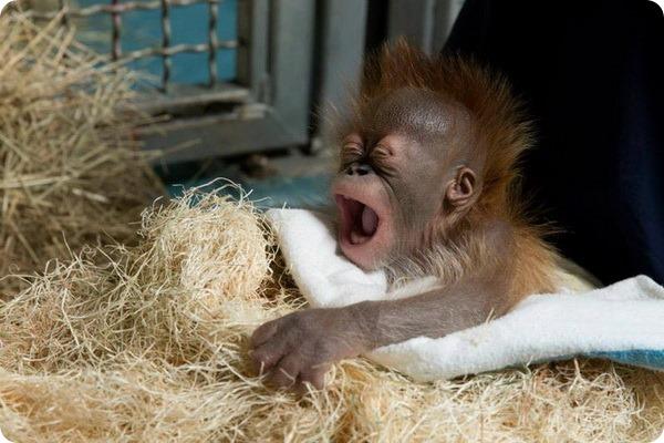 Детенышу орангутана из Атланты исполнился год
