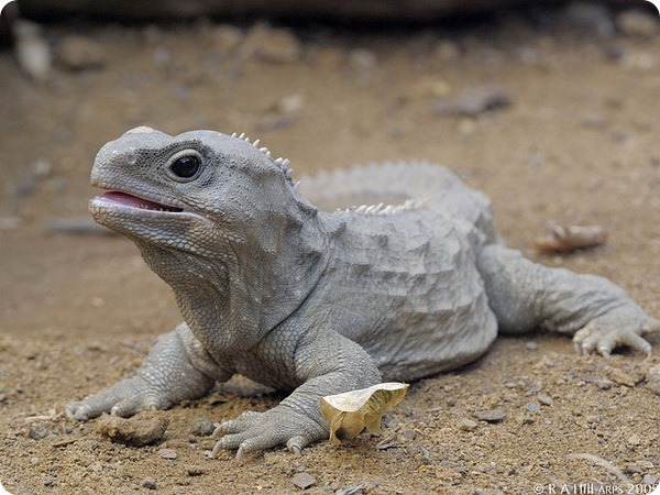 Гаттерия, или туатара (лат. Sphenodon punctatus)