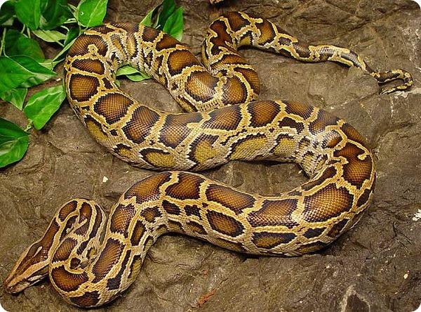Темный тигровый питон (лат. Python bivittatus)