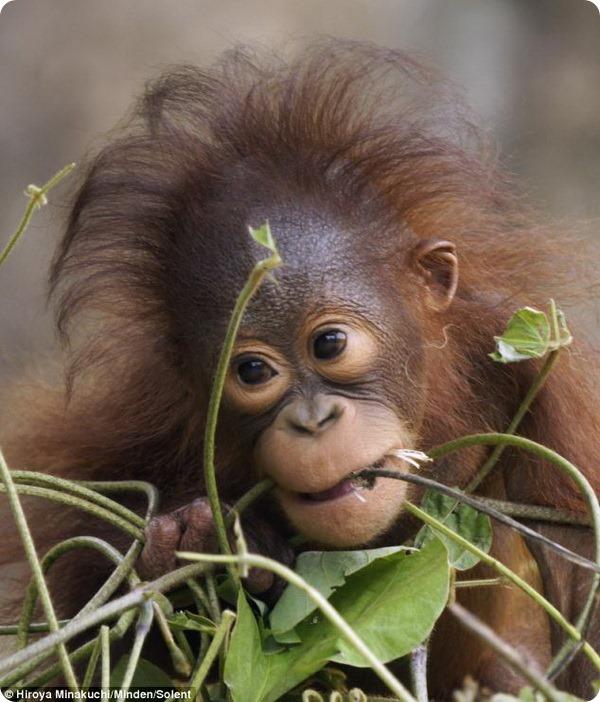 Милый малыш орангутана из зоопарка Токио