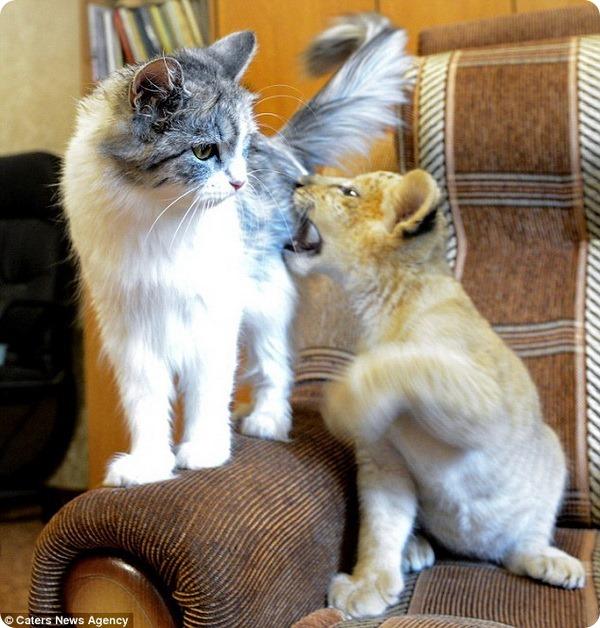 Знакомьтесь, лилигренок Киара и кошка Дарка