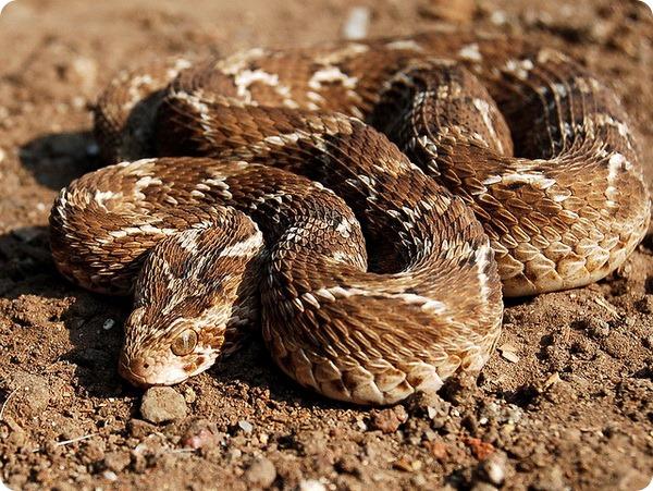 Песчаная эфа (лат. Echis carinatus)