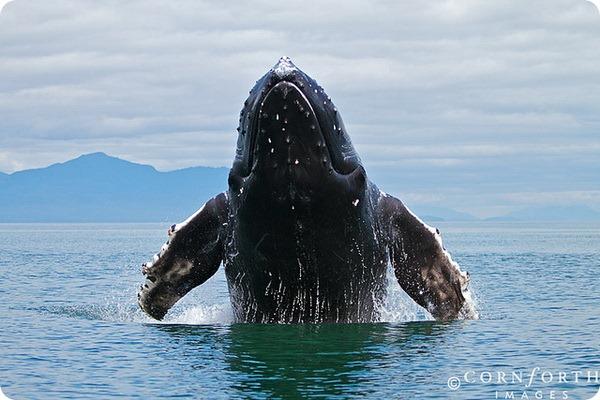 Горбатый кит (лат. Megaptera novaeangliae)
