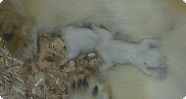 Белые медвежата из зоопарка Мюнхена