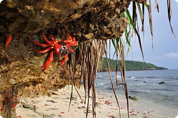 Красный земляной краб (лат. Gecarcoidea natalis)