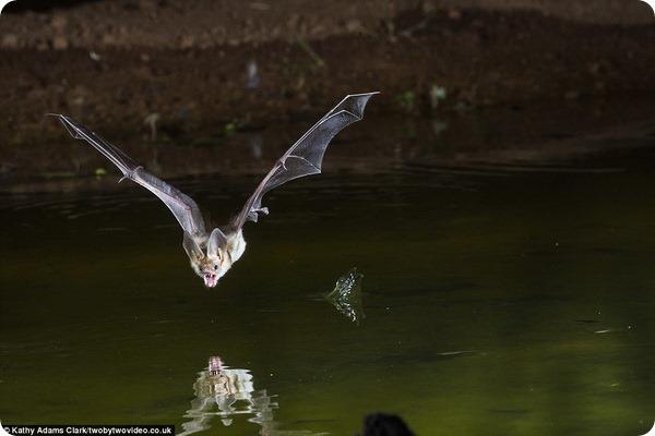 Мир летучих мышей от фотографа Кэти Адамс Кларк
