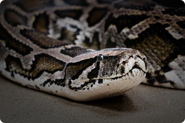 Тигровый питон (лат. Python molurus)