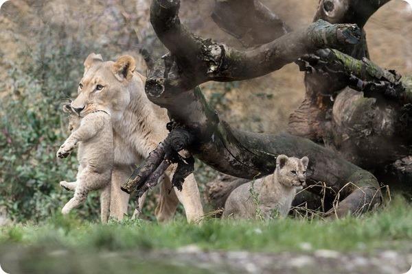 Четверо львят стали гордостью зоопарка Базеля
