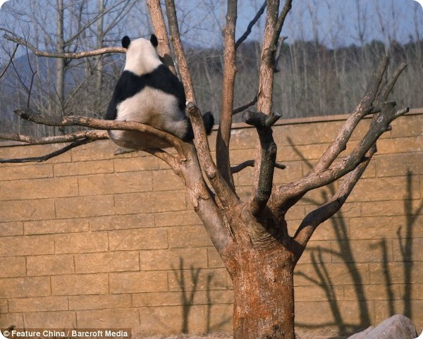Смешная панда Ли-Ли из зоопарка Ханчжоу