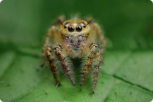 Гипнотизирующие макроснимки пауков от Джимми Конга