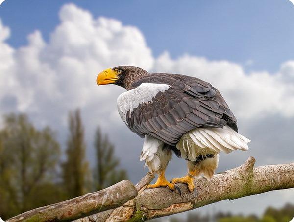 Белоплечий орлан (лат. Haliaeetus pelagicus)