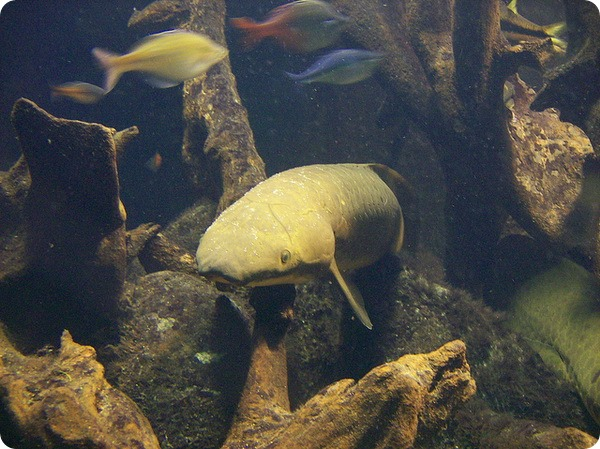 Рогозуб или баррамунда (лат. Neoceratodus forsteri)